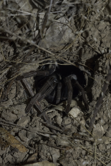 Tarantula in burrow