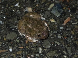 Western Spacefoot Toad (Spea hammondii)