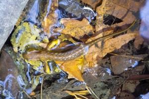 Malnourished newt